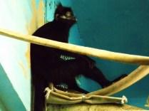 Black Spider Monkey, Henry Doorly Zoo, Omaha, NE.