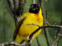 Yellow Weaver, Henry Doorly Zoo, Omaha, NE.