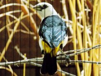 White Headed Buffalo Weaver, Henry Doorly Zoo, Omaha, NE.