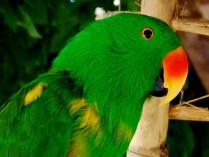 Male Grand Eclectus Parrot, Henry Doorly Zoo, Omaha, NE.