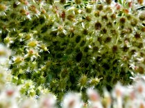 Queen Anne's Lace, Curled, IA. Copyright Robert Hartwig.