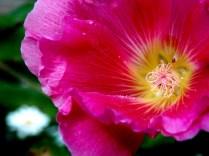 Flower, Pine Creek Mill, Muscatine, IA. Copyright Robert Hartwig.