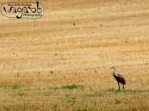 Field bird.