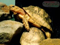 Star Tortoise, Detroit Zoo, Copyright Robert Hartwig 2013