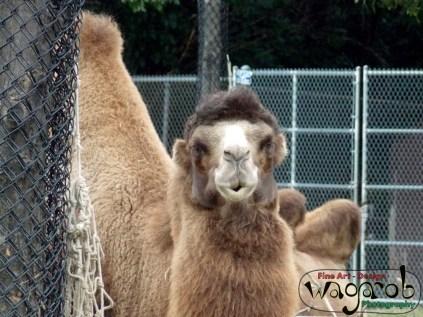Bactrian Camel, Detroit Zoo, Copyright Robert Hartwig 2013