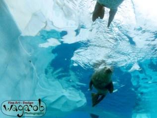 Harbor Seal, Detroit Zoo, Copyright Robert Hartwig 2013