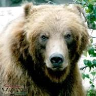 Brown Bear, Detroit Zoo, Copyright Robert Hartwig 2013