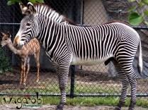 Zebra, Detroit Zoo, Copyright Robert Hartwig 2013