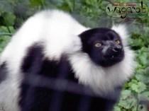 Black and White Ruffed Lemur, Detroit Zoo, Copyright Robert Hartwig 2013