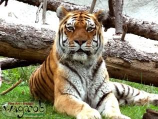 Amur Tiger, Detroit Zoo, Copyright Robert Hartwig 2013