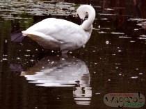 Swan, Detroit Zoo, Copyright Robert Hartwig 2013