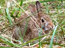 Wild Rabbit, Detroit Zoo, Copyright Robert Hartwig 2013