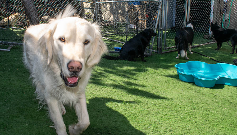 golden at dog daycare central oregon
