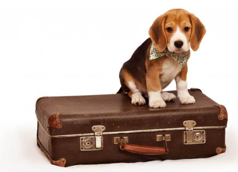 Pet Taxi Services, Beagle puppy sitting on suit case.