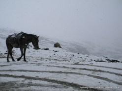 a horse walking on snow at rohtang pass himachal pradesh india