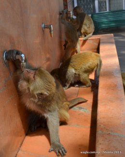 Monkeys quenching their thirst