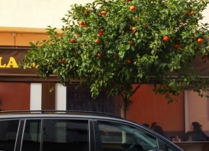 Orange trees all over town. Almuñécar, Spain