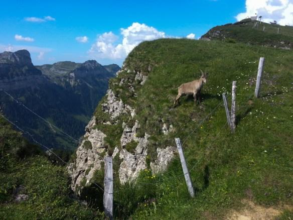 Niederhornian Goat