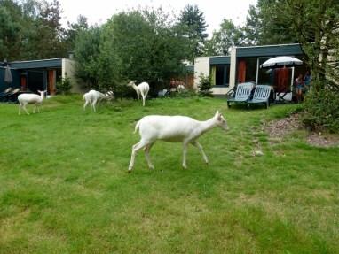 Center Parcs Het Meerdal Netherlands deer