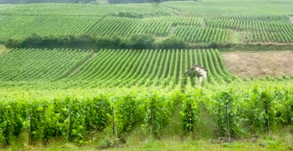 Rows of grapes in Champagne