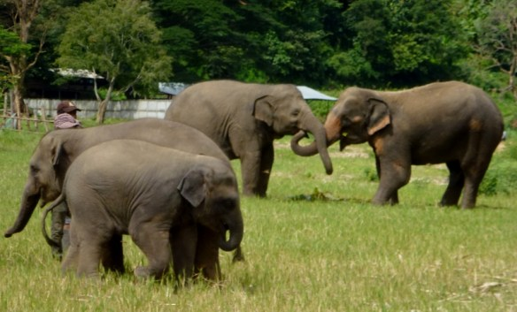 Elephant Nature Park - play time
