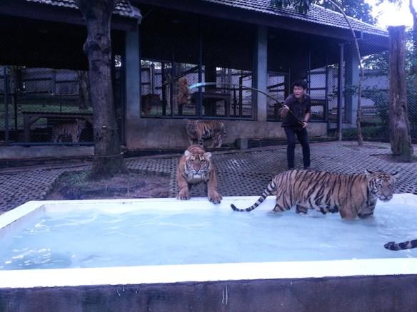 Tiger-jumping-at-Alan-into-Pool-2