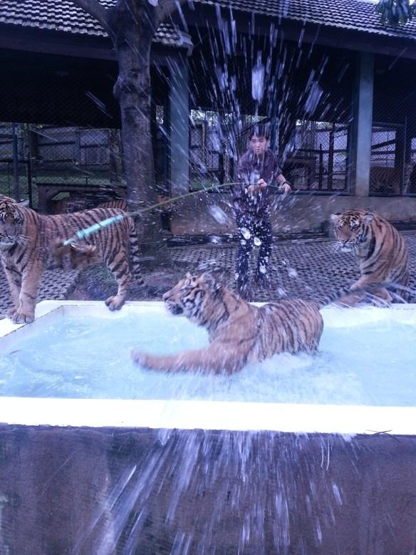 Tiger-jumping-at-Alan-into-pool