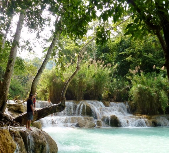 Kuang Si Waterfalls Luang Prabang the jumping tree.  Swim in the stunning Kuang Si Waterfalls in Luang Prabang Laos.  Enjoy the spectacular blue colors of the large multi-stage Kuang Si Waterfall and pools, accessible by boat or truck hire, some 29km south of Luang Prabang. Read more on WagonersAbroad.com