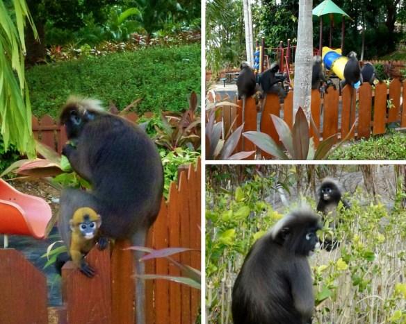 Berjaya Langkawi Resort Resident Monkeys