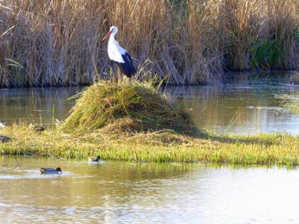 Bird Watching Charca de Suárez Motril Wetlands