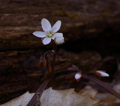 Spring Beauty, Photo by Rich Pendlebury