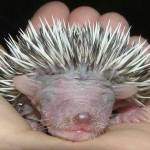 porcupine-host