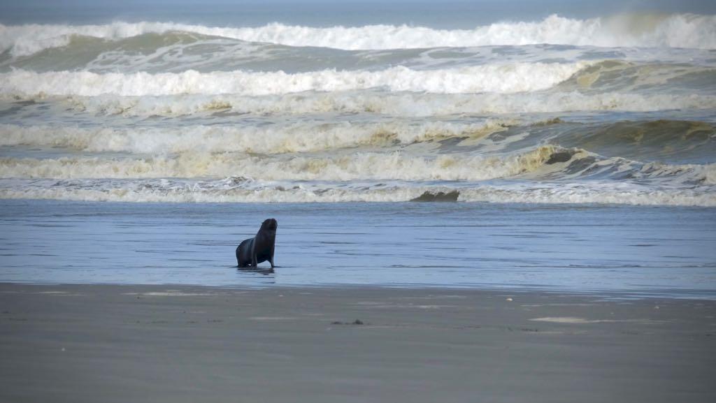 Seal safety on Waikawa Beach