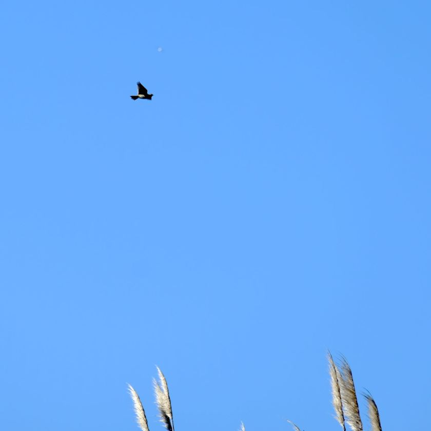 Small to medium bird high in the sky with outspread wings.