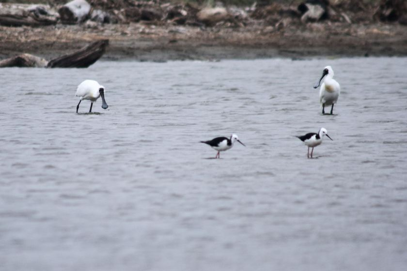 Two large white birds and two small black and white birds wading by the beach.
