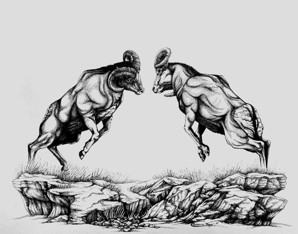 Drawing of two bighorn sheep rams fighting by Rebecca Magar