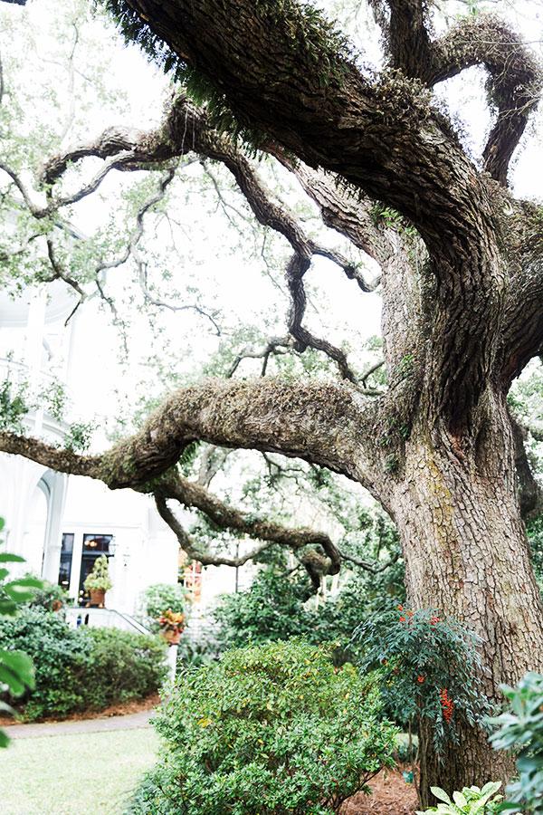 Spanish moss found in Charleston