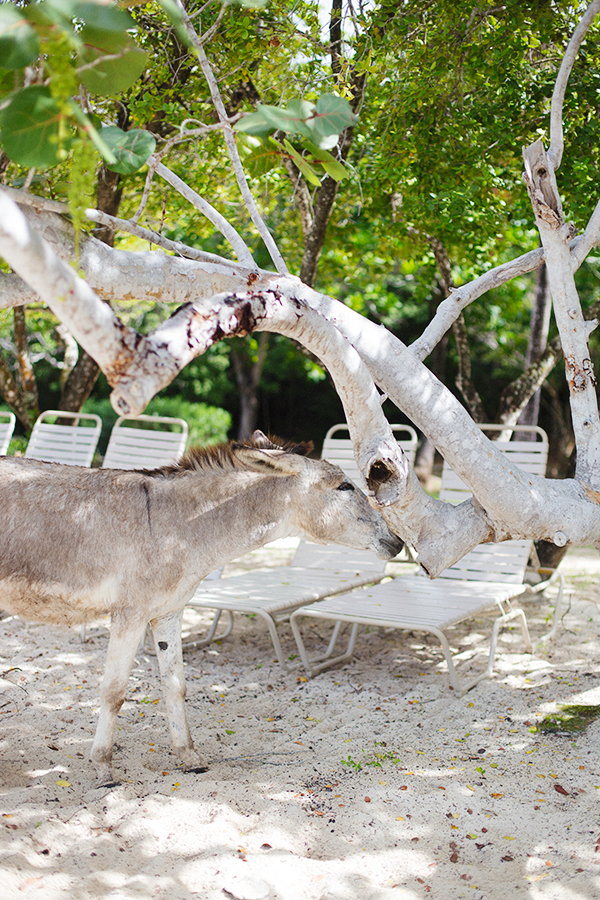 Wild donkey found on Caneel Bay Resort