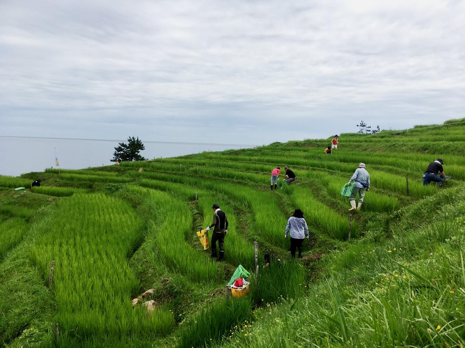 今日の白米千枚田は、オーナーの方がたが草刈りを行っています。