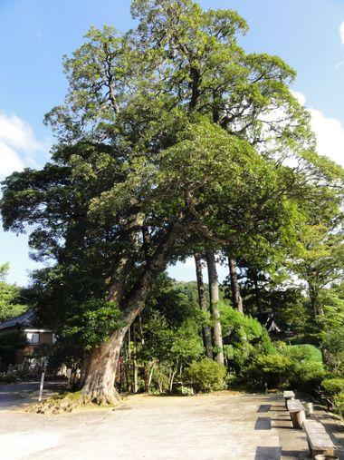 金蔵寺 タブの木