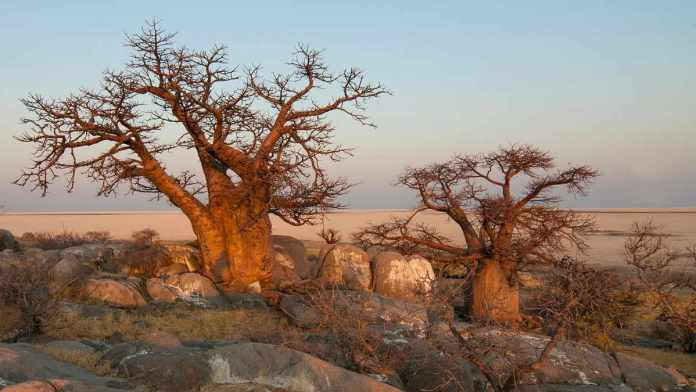 Pustynia baobabu w Botswanie