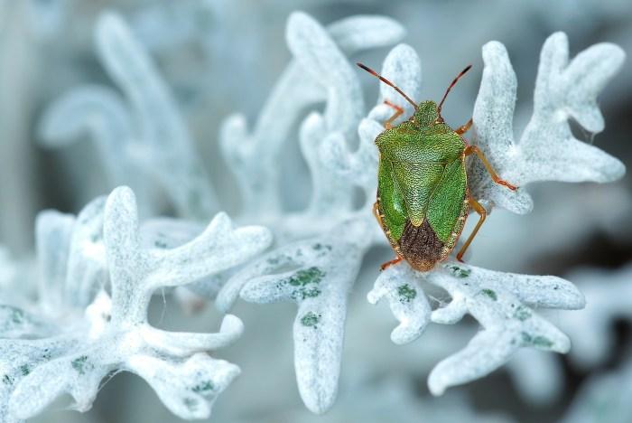 緑色のカメムシ