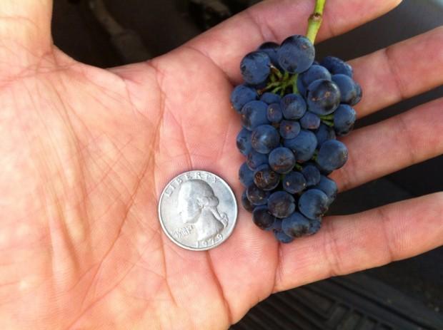 Sta Rita Hills Pinot Noir Cluster (full size, not a wing)
