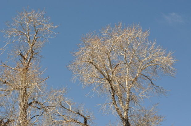 Birch and Sky
