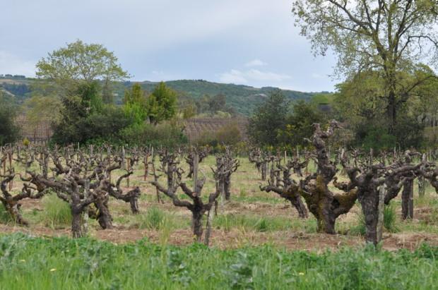 Old Vines at Bucklin