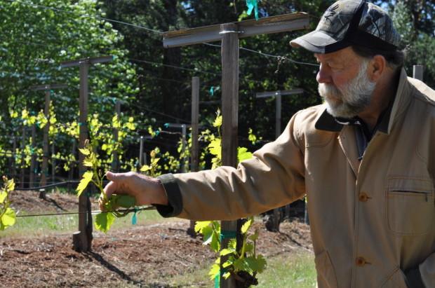 Stu Smith inspecting Chardonnay, March 2013