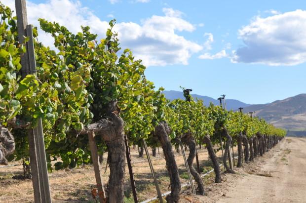 old vines Arroyo Seco