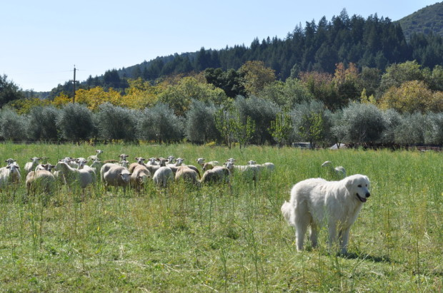 Giuseppe and his sheep
