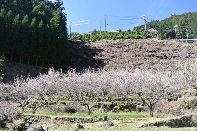 見頃を迎えた耕人舎の梅畑
