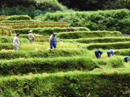棚田で稲刈り